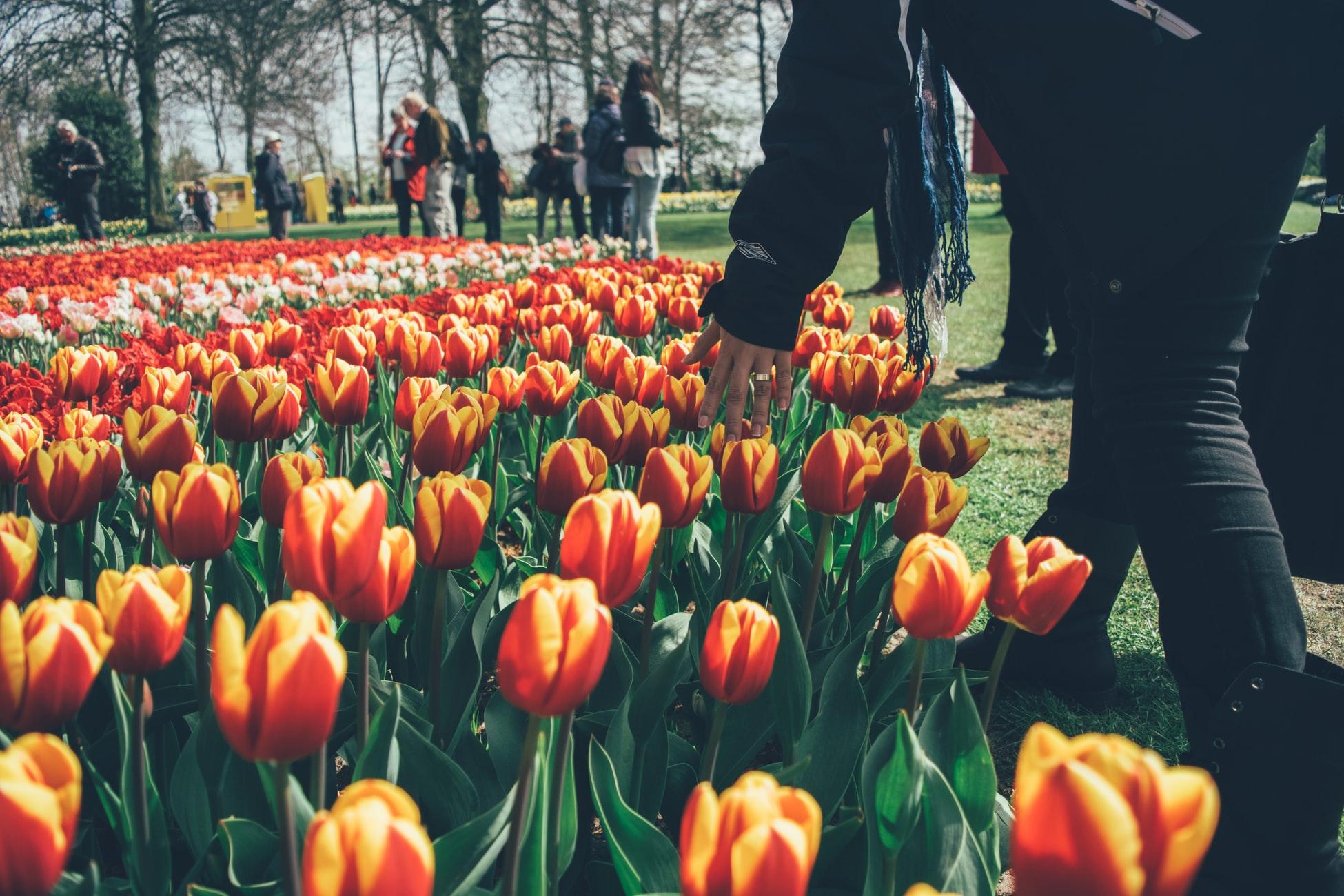 A cidade do Porto cobriu-se de tulipas